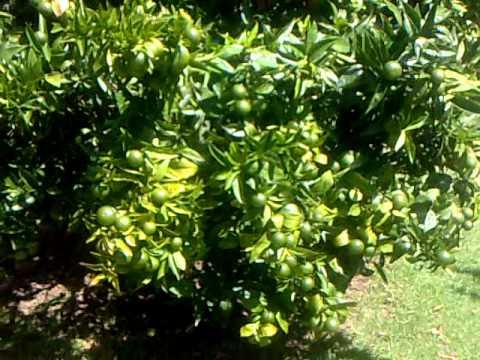 Nutrients vs No Nutrients On My Mandarin Trees