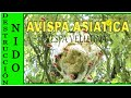 AVISPA ASIATICA (destrucción de un nido) - YouTube