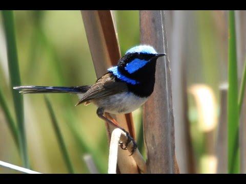澳洲的壯麗細尾鷯鶯(Superb Fairywren)[2015-12-26] - YouTube