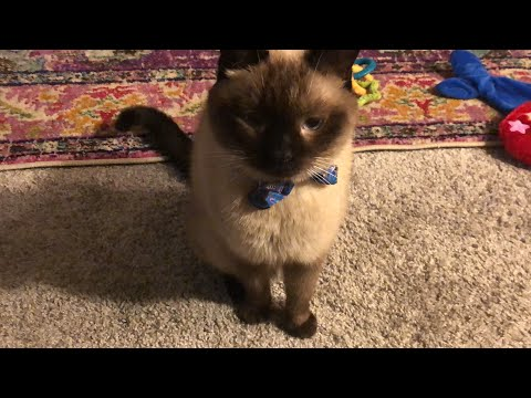 Siamese Cat Wants Treats While Foster Kittens Play
