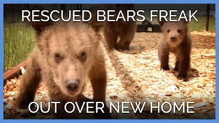 Rescued Bears Freak Out Over New Home