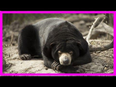 К чему снится медведь   TVRu