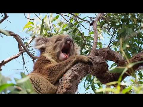 Video | Yawning goanna at Wattamolla and sleepy koala show