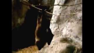 Slow motion.Orii flying fox moves.高速度撮影。移動するオリイオオコ...