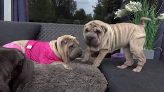 Sharpei Puppy Of Bo-tox 4 Months Old
