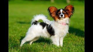 Континентальный той-спаниель (Papillon dog) - порода собак
