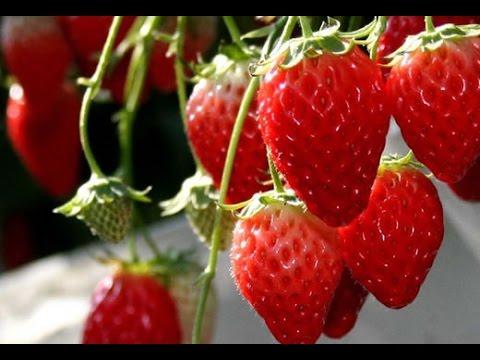 How to grow Strawberries ? (Urdu/Hindi)