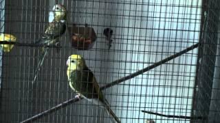 Red Rumped Parakeet - HERAKLION CRETE - KOSTANTAKIS