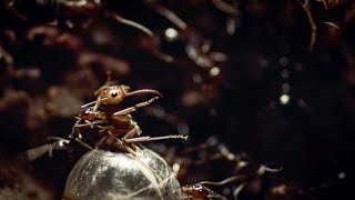 Ants Rip Queen's Legs Off | Empire Of The Desert Ants | BBC Earth Video