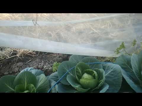 """Подготовка теплицы к высадке огурцов/результат эксперимента """"выращивание капусты и свёклы в теплице"""""""