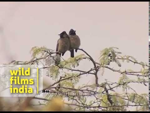 Red-vented Bulbul couple and Indian Robin