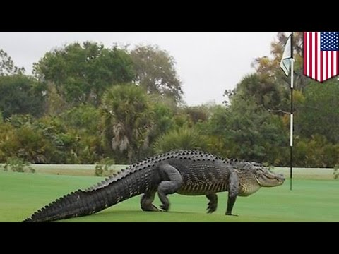 Florida gators: giant dinosaur-looking alligator strolled onto golf course, freaking out golfers
