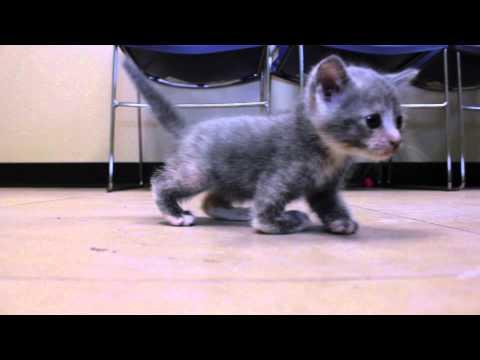 Rockwall Special Needs Kitten