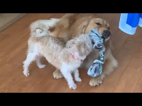 Puppy forces Golden Retriever to play tug-of-war