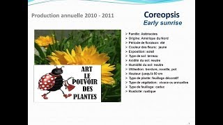 Coreopsis Early sunrise: plante annuelle