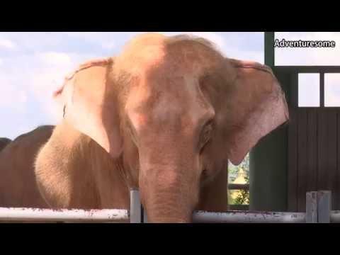 White elephant in myanmar
