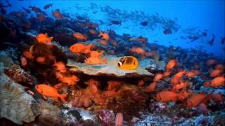 Les maux des coraux