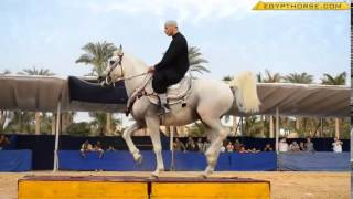 Танцы арабских лошадей