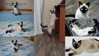 Тайский котёнок Икар весело играет в новом своём доме! Тайские кошки - это чудо! Funny Cats