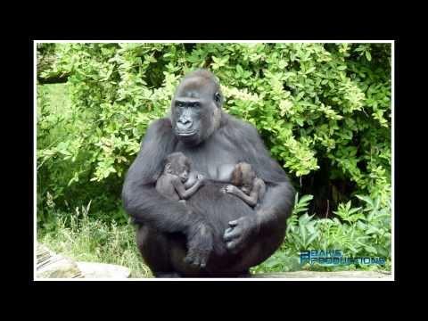 Baby gorilla tweeling - Baby gorilla twins - Gorilla gorilla gorilla _Burgers Zoo