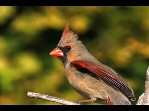 Northern Cardinal 2008