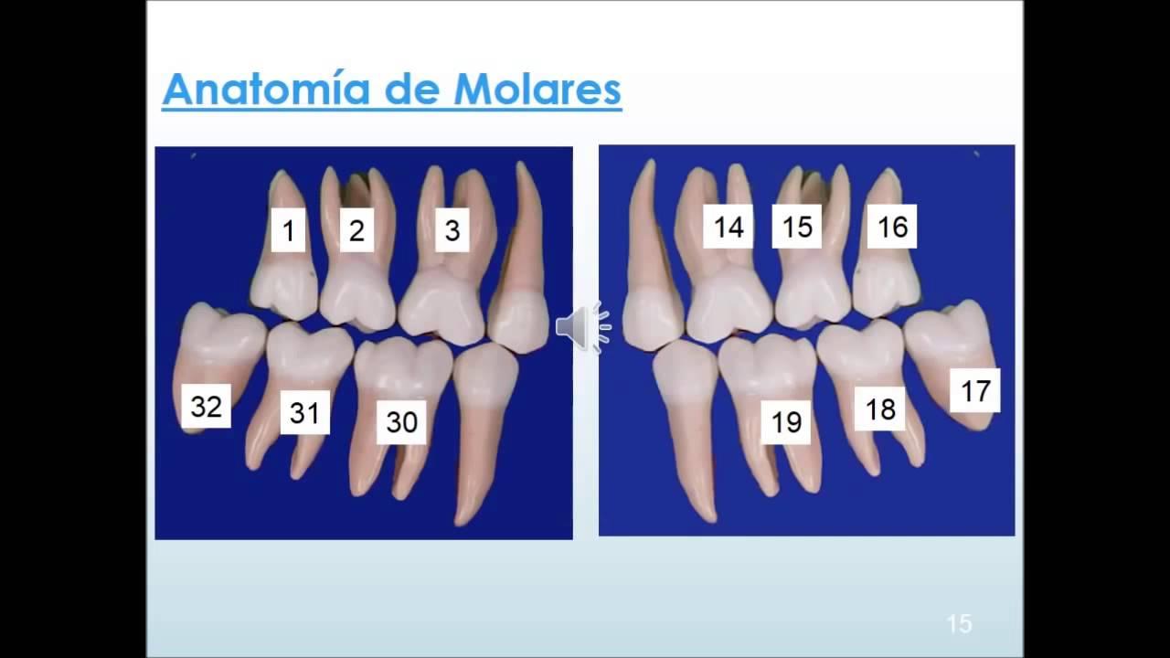 Definicion y ramas de la anatomia de los dientes - YouTube