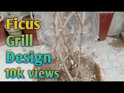 Ficus Panda Grill Design Bonsai Urdu Hindi Youtube