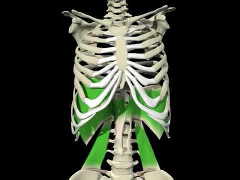 musculo iliopsoas origem inserção e função