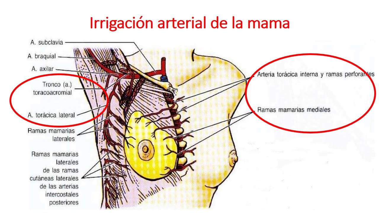 Anatomía y embriología de mama - YouTube