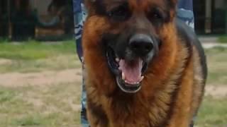 21 06 2019 Собаки на службе в полиции: кинологической службе МВД исполнилось 110 лет