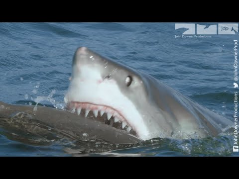 Robot Spy Seal Vs Great White Shark