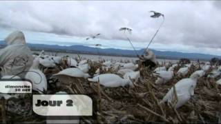 Chasse a l'oie blanche 29-30 octobre 2011 Snow goose hunting october 2011