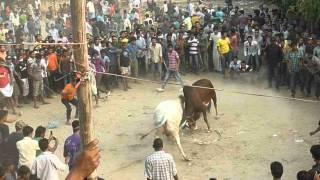 bullfiteg bangladesh chittagong gosal daga
