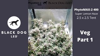 2.5 x 2.5 | Super Lemon Haze | PhytoMAX-2 400 Veg 1