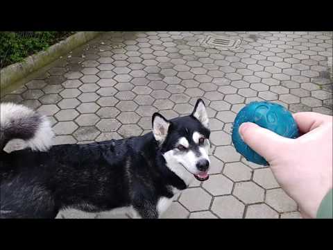 Playing outside with Alaskan Malamute and Golden Retriever