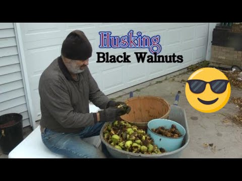 Harvesting Black Walnuts!