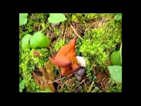 Весенние грибы. Сморчки и строчки.