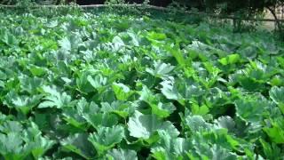 Uprawa warzyw- cukinie kabaczki dynie