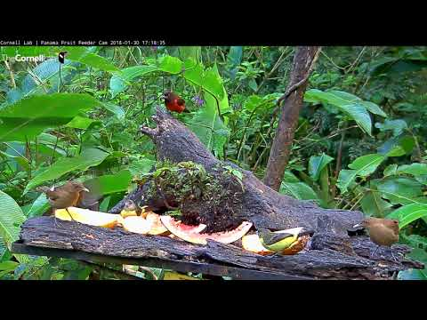 Red-legged Honeycreeper— on the Panama Fruit Feeder Cam at Canopy Lodge | Cornell Lab