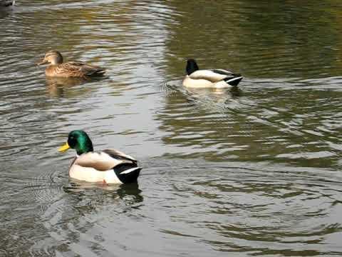 Ducks in Central Park Lake