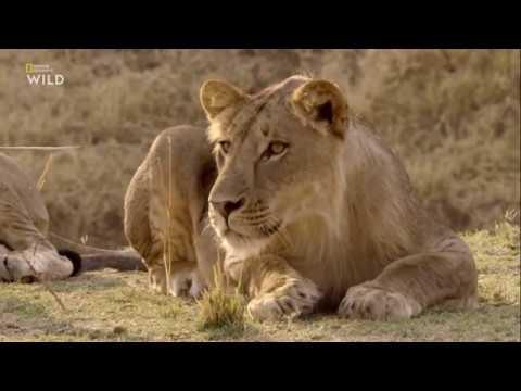 Nat Geo Wild: Африканские охотники 2 сезон 1 серия - Испытания Олимбы