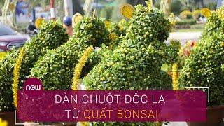"""Độc đáo """"đàn chuột quất"""" bonsai   VTC Now"""