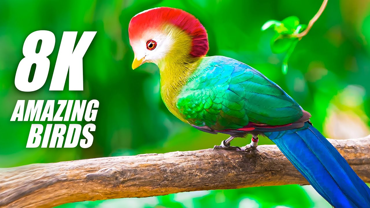 The Beauty of Birds Special Collection 8K VIDEO ULTRA HD HDR 60FPS