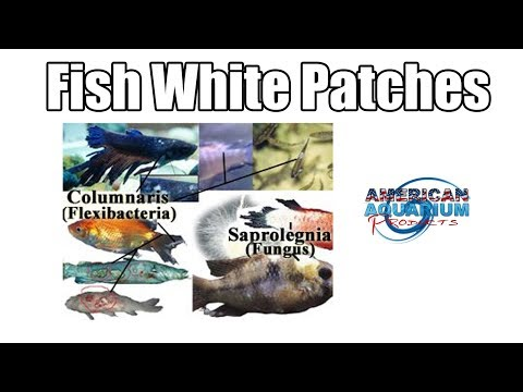 Differences Between Fish Columnaris & Fish Fungus Saprolegnia