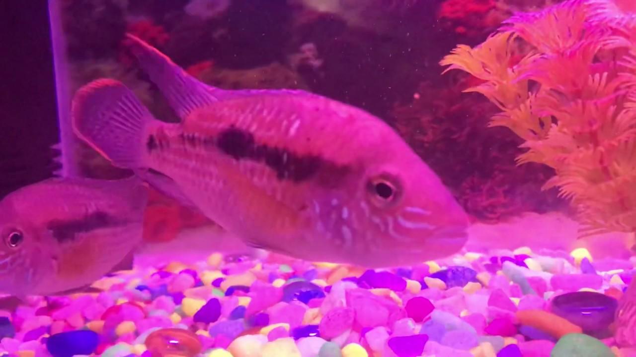 My new fish jack dempsy chichlid