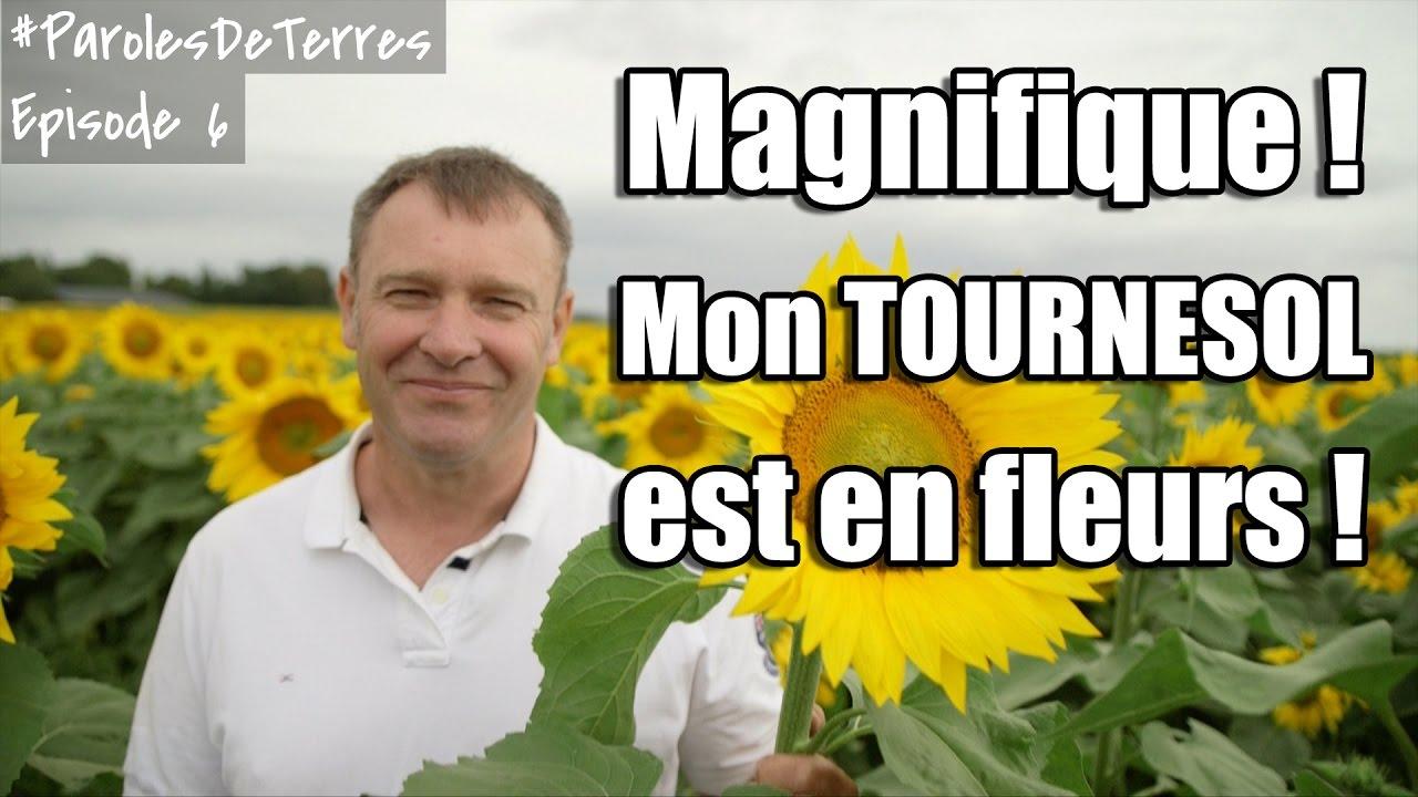 La floraison du Tournesol