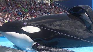 One Ocean with Tilikum (Full Show/Full HD) Aug 12 2015 - SeaWorld Orlando