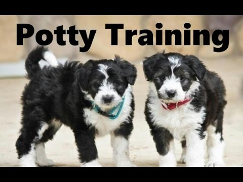 How To Potty Train A Bordoodle Puppy - Borderdoodle House Training Tips - Borderpoo Puppies