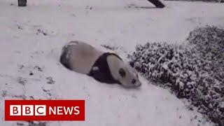Pandas sliding in the snow - BBC News