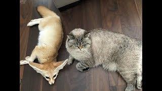 Неразлучные лис и котенок покорили Сеть